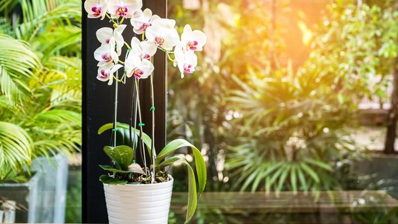how-to-grow-moth-orchids_1563866337094