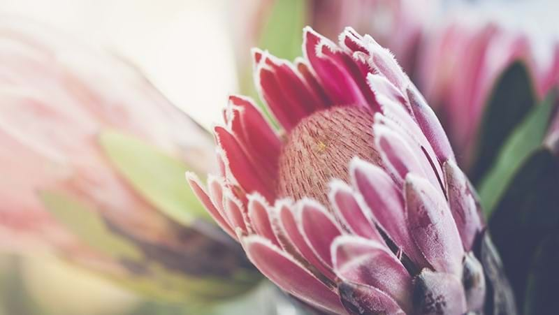 how-to-grow-proteas_1551154919480