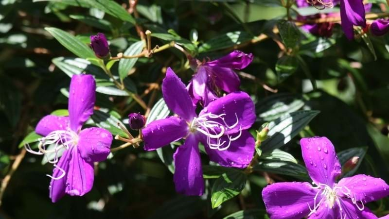 how-to-grow-tibouchina_1551845443697