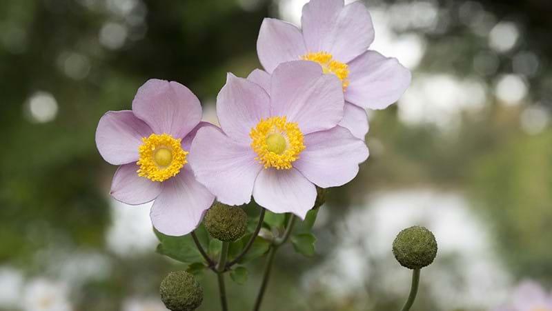 how-to-grow-anemone_1551154919361
