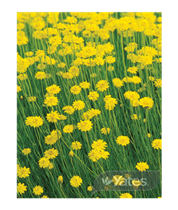 yellow-paper-daisy-schoenia-filifolia-3 (1)