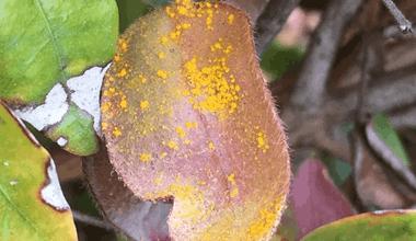 common-problems-eucalyptus-1