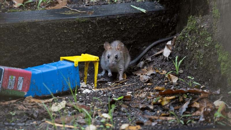 rats-and-mice-around-the-house_1585187782621