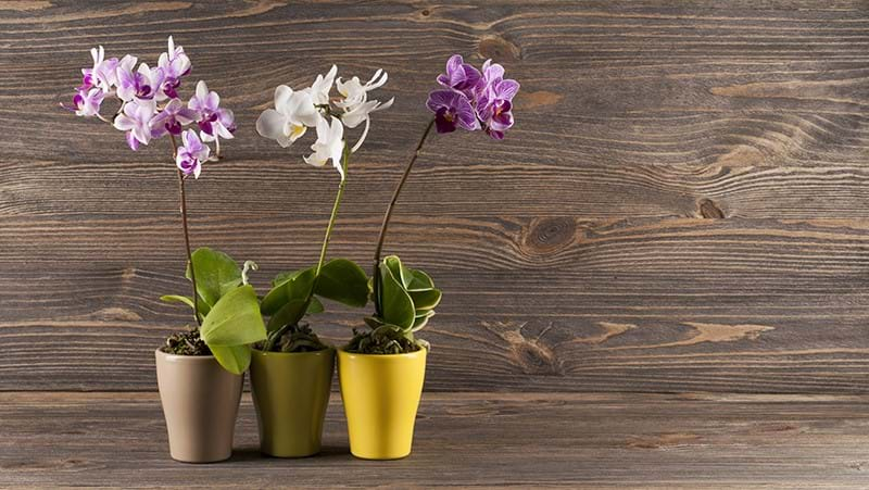 how-to-grow-moth-orchids_1563866340795