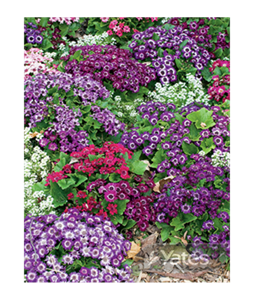 cineraria-starships-3 (1)