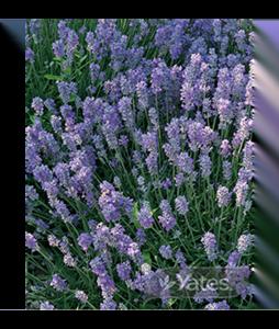 lavender-munstead-dwarf-3 (1)