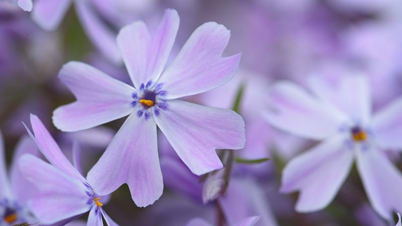 how-to-grow-phlox_1551154913834